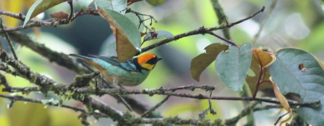 Crowned Tanager